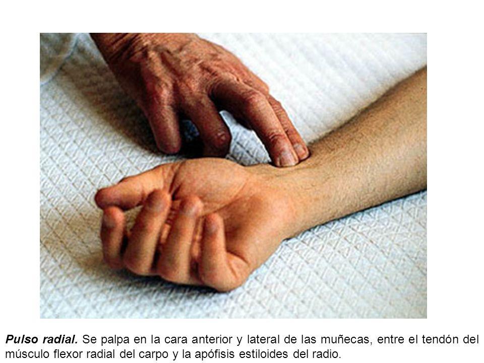 Pulso radial. Se palpa en la cara anterior y lateral de las muñecas, entre el tendón del músculo flexor radial del carpo y la apófisis estiloides del