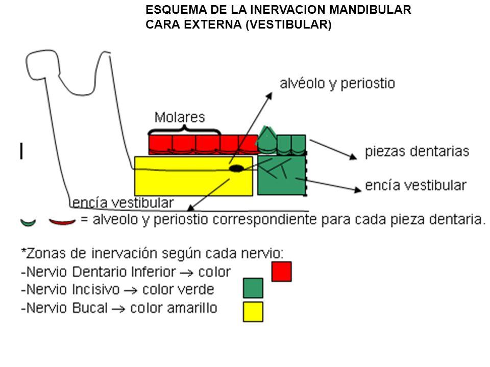 ESQUEMA DE LA INERVACION MANDIBULAR CARA EXTERNA (VESTIBULAR)