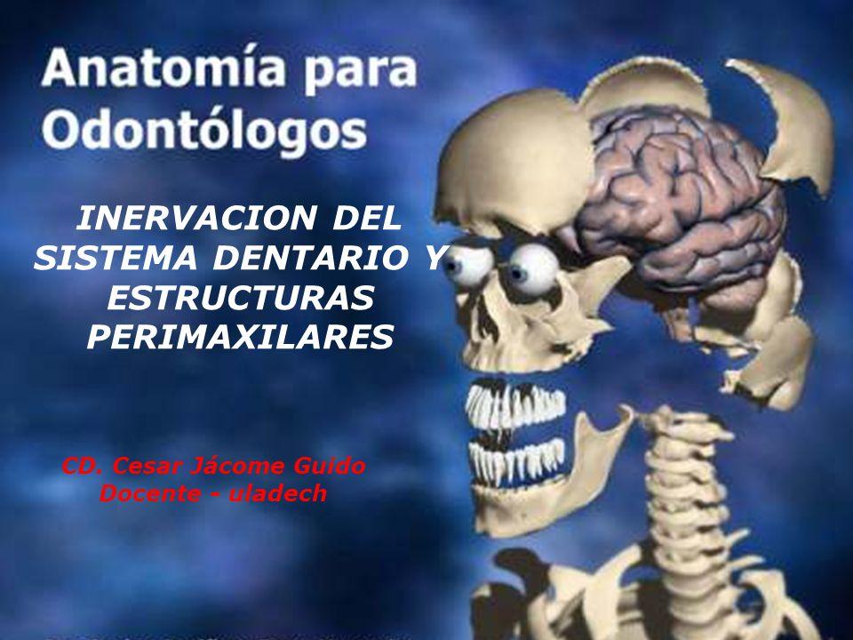 INERVACION DEL SISTEMA DENTARIO Y LAS ESTRUCTURAS PERIMAXILARES Están inervados por las ramas maxilar superior y mandibular del trigémino.