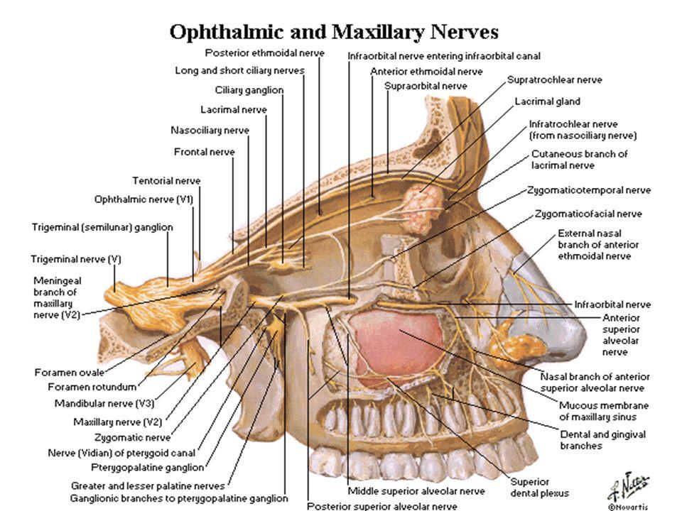 Nervio dentario anterior Nervio dentario posterior Nervio dentario medio