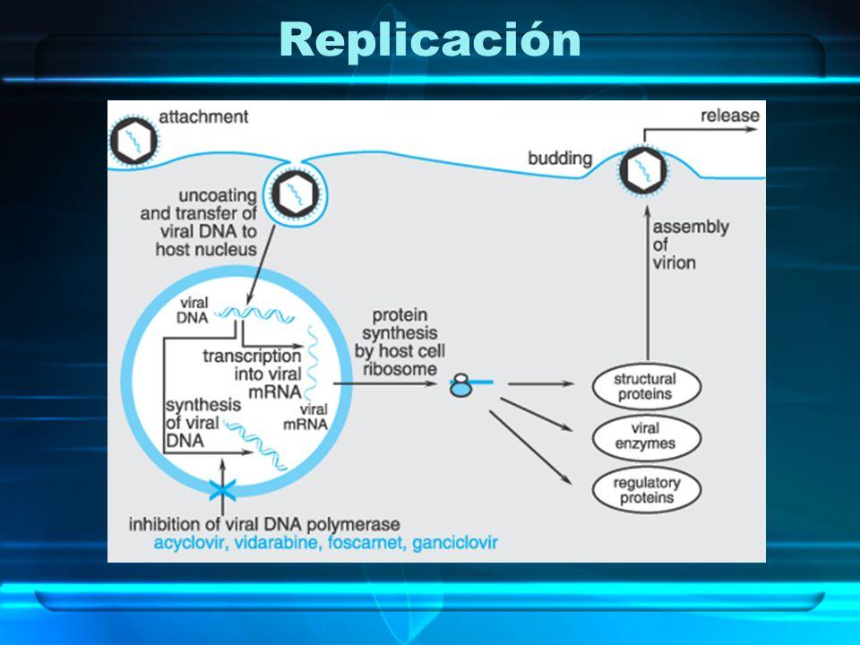Ganciclovir y Valganciclovir Mecanismo de acción: GCV inhibe la síntesis de DNA –GCV-MP HSV-TK o fosfostransferasa codificada por UL 97 en la infección por CMV –GCV-DP y GCV-TP se forman por enzimas celulares –GCV-TP se incorpora al DNA –Al menos 10 veces es la Conc.