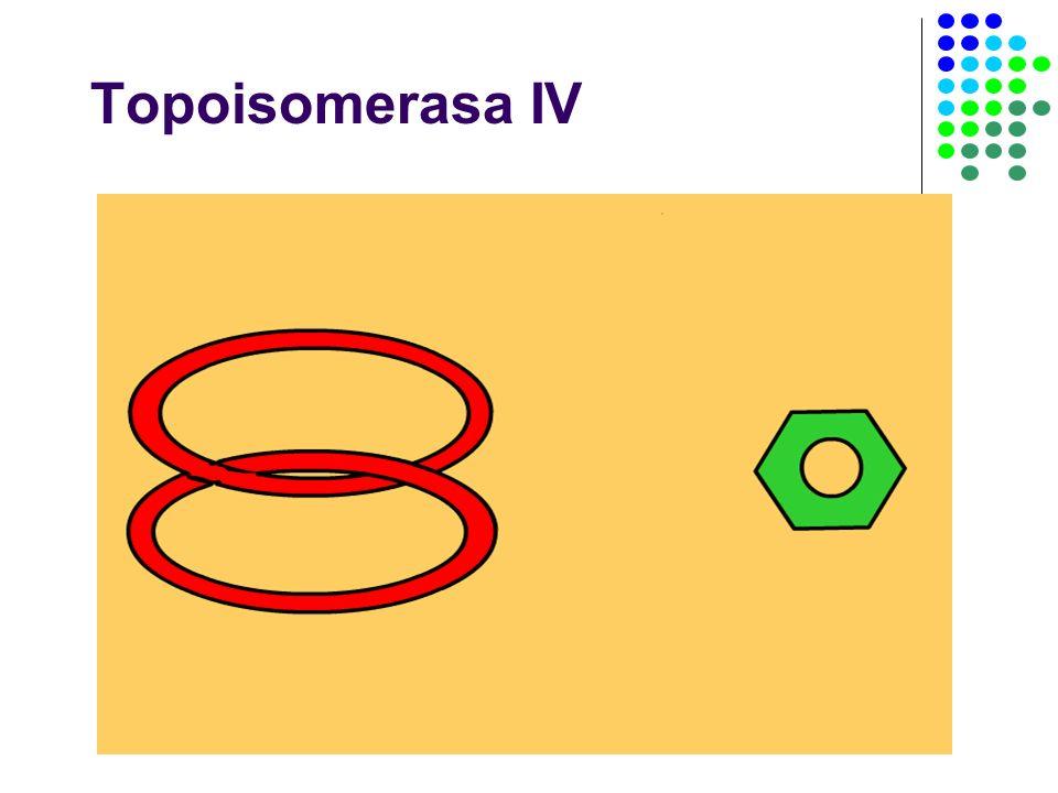 Topoisomerasa IV