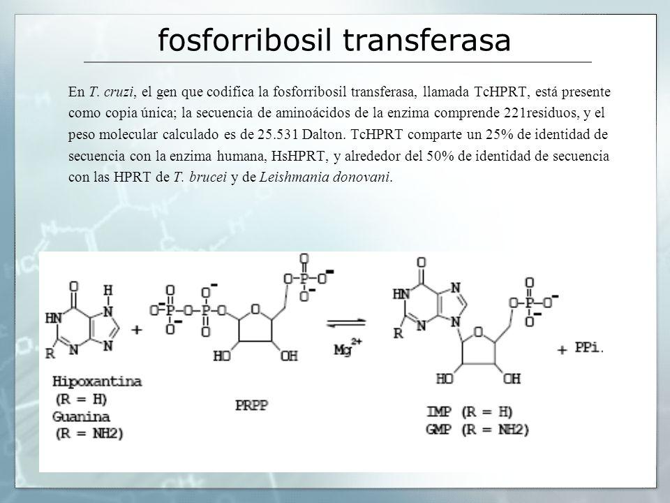 fosforribosil transferasa En T. cruzi, el gen que codifica la fosforribosil transferasa, llamada TcHPRT, está presente como copia única; la secuencia