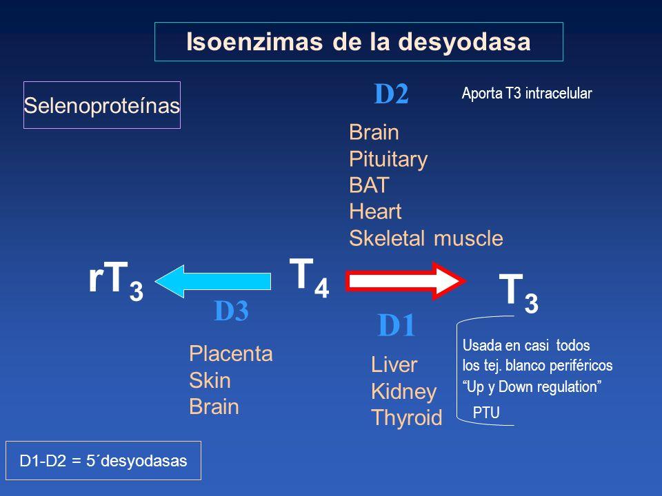 Isoenzimas de la desyodasa T3T3 rT 3 D2 T4T4 Brain Pituitary BAT Heart Skeletal muscle D1 D3 Placenta Skin Brain Liver Kidney Thyroid D1-D2 = 5´desyod