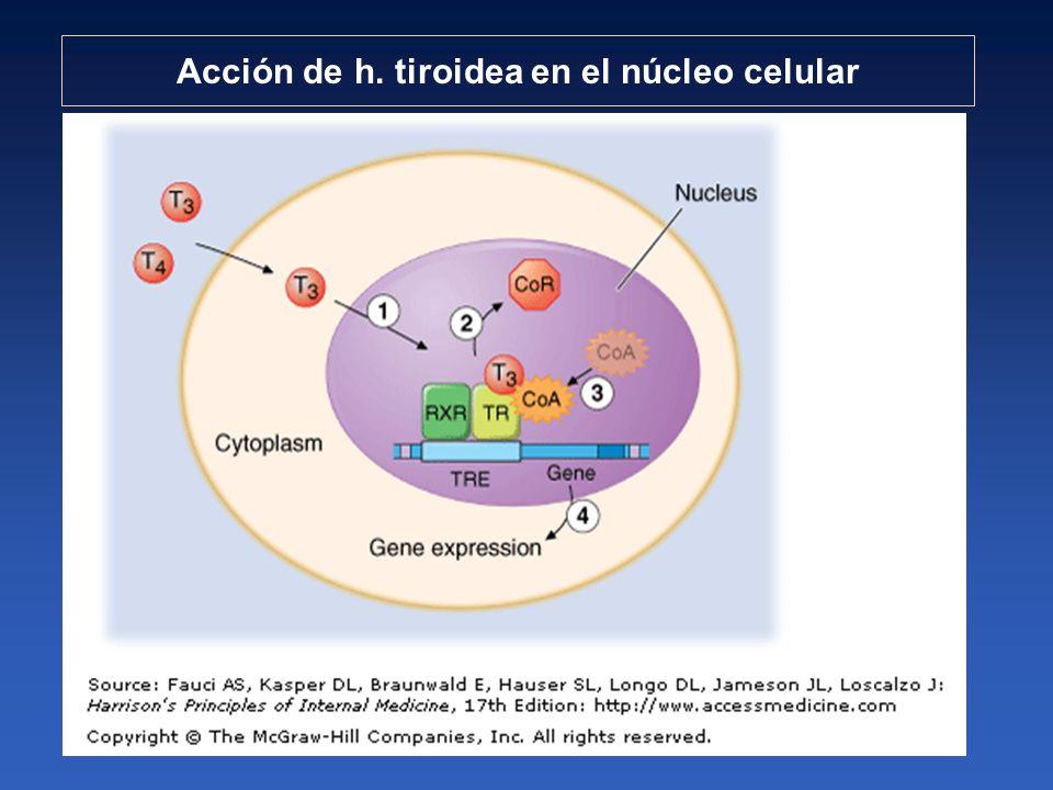 Acción de h. tiroidea en el núcleo celular