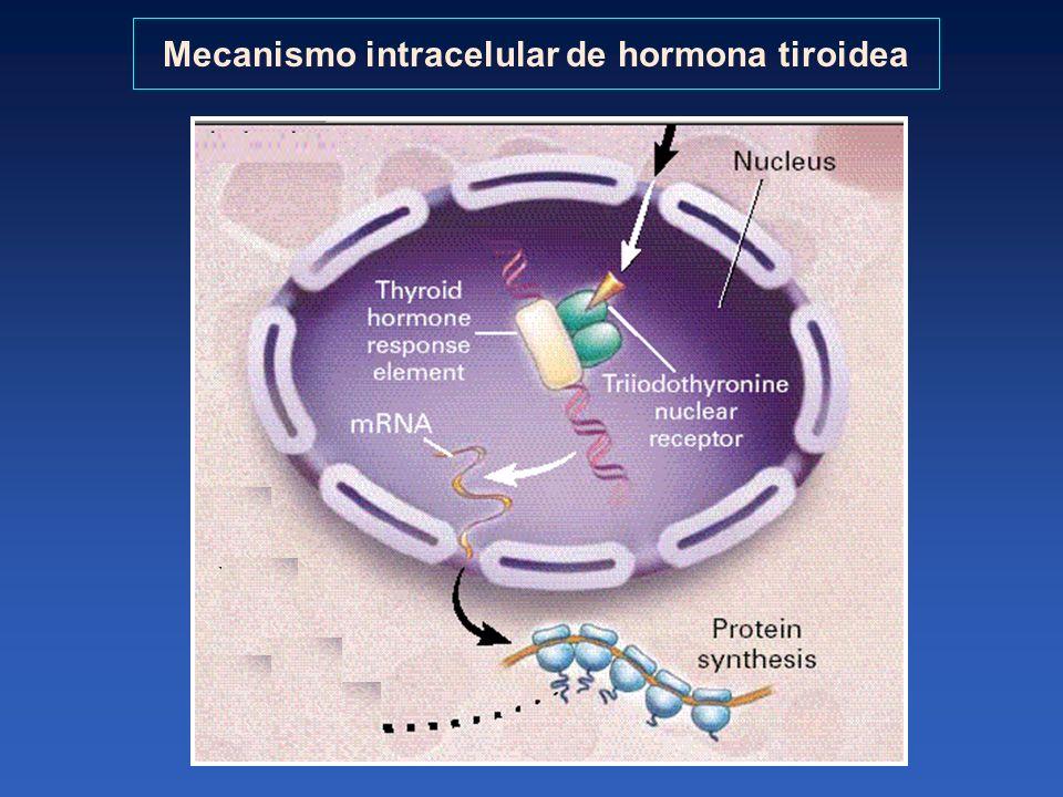 Mecanismo intracelular de hormona tiroidea