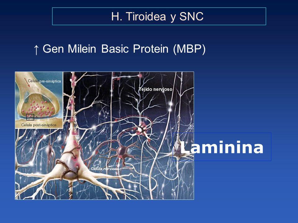 H. Tiroidea y SNC Gen Milein Basic Protein (MBP) Laminina