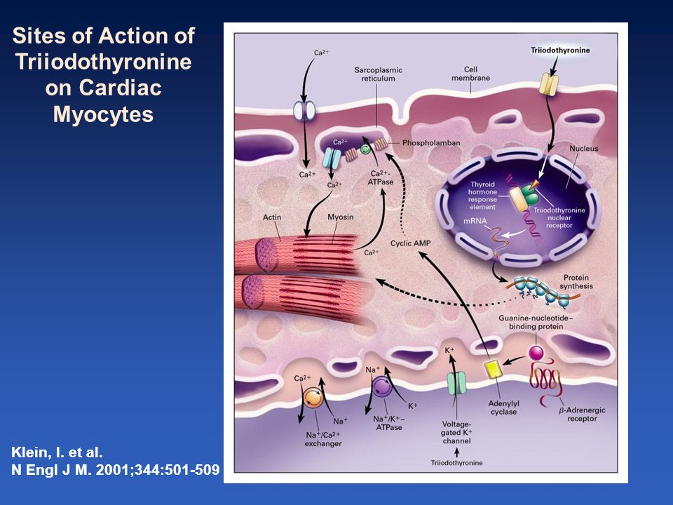 Klein, I. et al. N Engl J M. 2001;344:501-509 Sites of Action of Triiodothyronine on Cardiac Myocytes