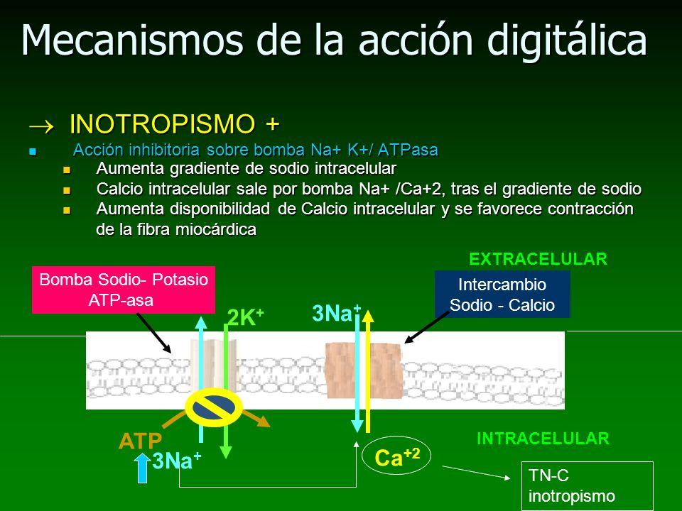 Mecanismos de la acción digitálica INOTROPISMO + INOTROPISMO + Acción inhibitoria sobre bomba Na+ K+/ ATPasa Acción inhibitoria sobre bomba Na+ K+/ AT