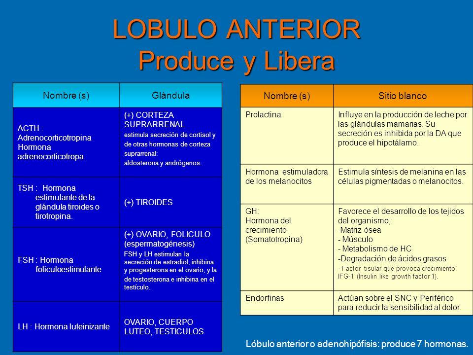 LOBULO ANTERIOR Produce y Libera Nombre (s)Glándula ACTH : Adrenocorticotropina Hormona adrenocorticotropa (+) CORTEZA SUPRARRENAL estimula secreción