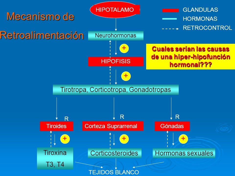 HIPOTALAMOGLANDULAS RETROCONTROL Mecanismo de Retroalimentación Retroalimentación HIPOFISIS Neurohormonas Tirotropa, Corticotropa, Gonadotropas Hormon