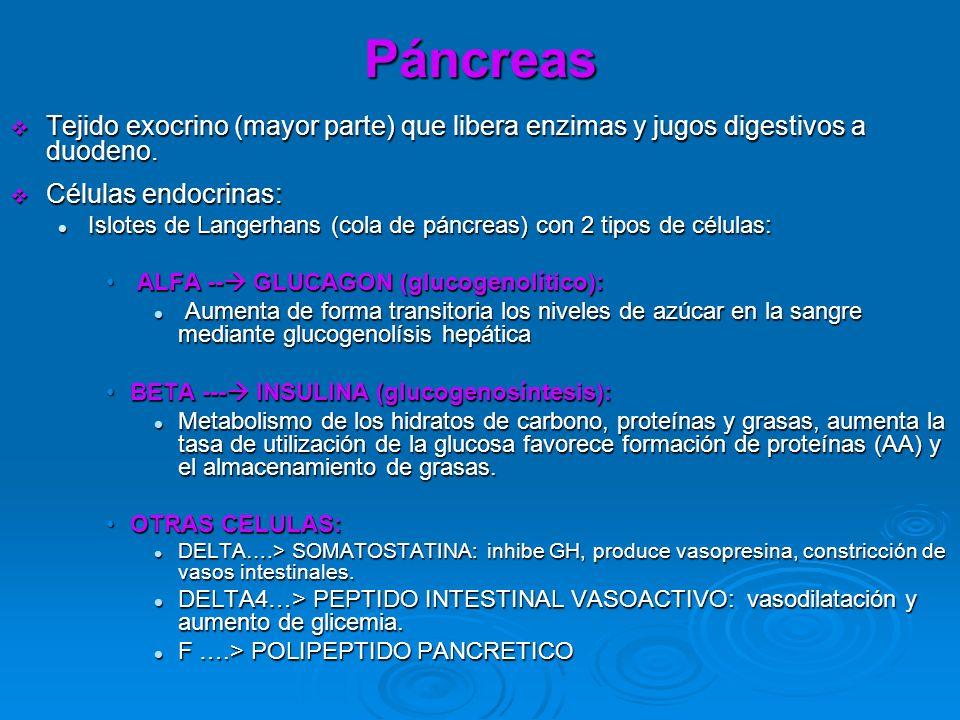 Páncreas Tejido exocrino (mayor parte) que libera enzimas y jugos digestivos a duodeno. Tejido exocrino (mayor parte) que libera enzimas y jugos diges