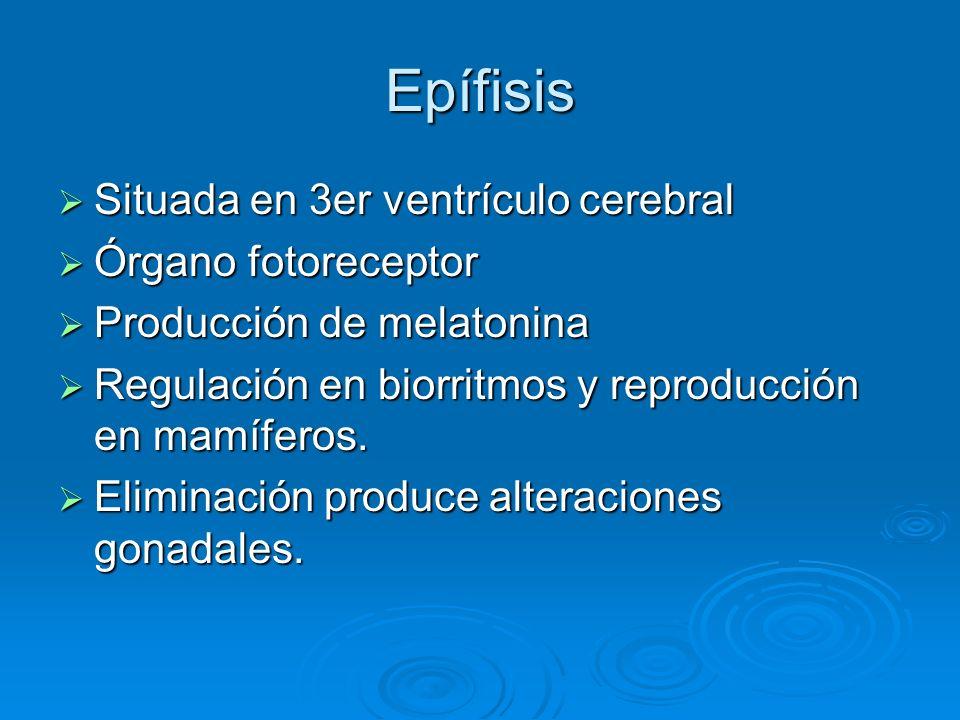 Epífisis Situada en 3er ventrículo cerebral Situada en 3er ventrículo cerebral Órgano fotoreceptor Órgano fotoreceptor Producción de melatonina Produc