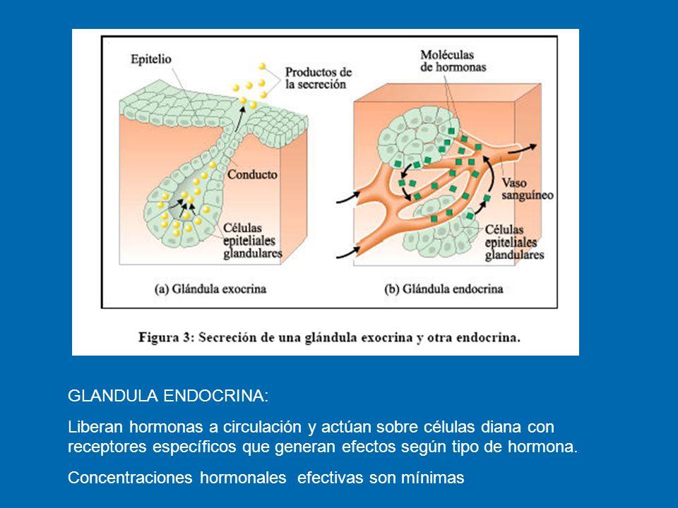 Clasificación de las hormonas Sitio de síntesis Glandulares Glandulares Producidas por cualquier glándula exocrina.