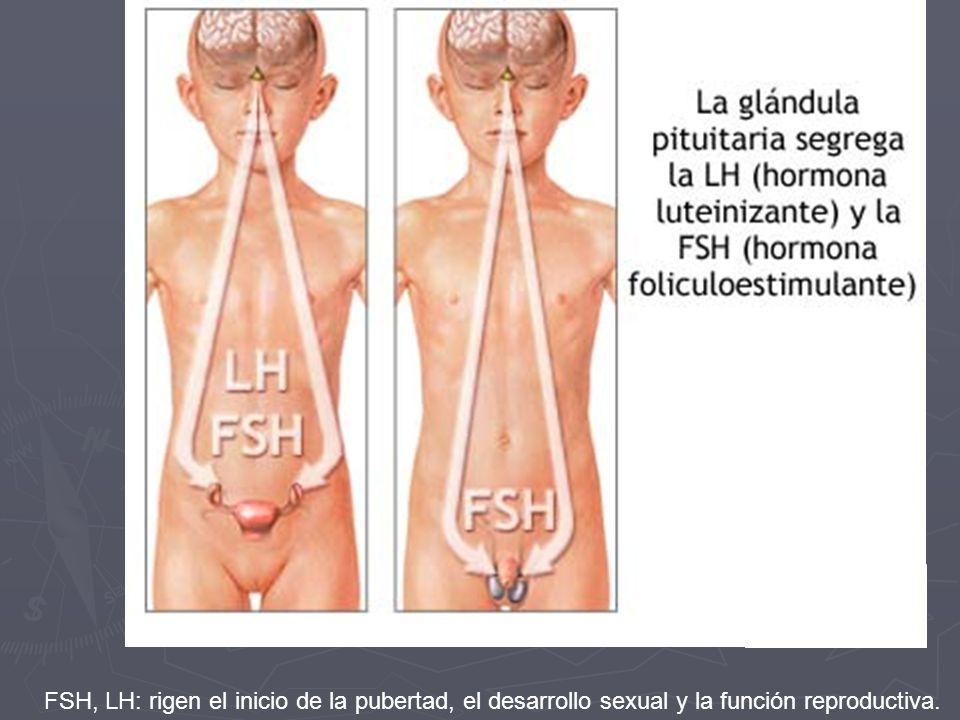 FSH, LH: rigen el inicio de la pubertad, el desarrollo sexual y la función reproductiva.