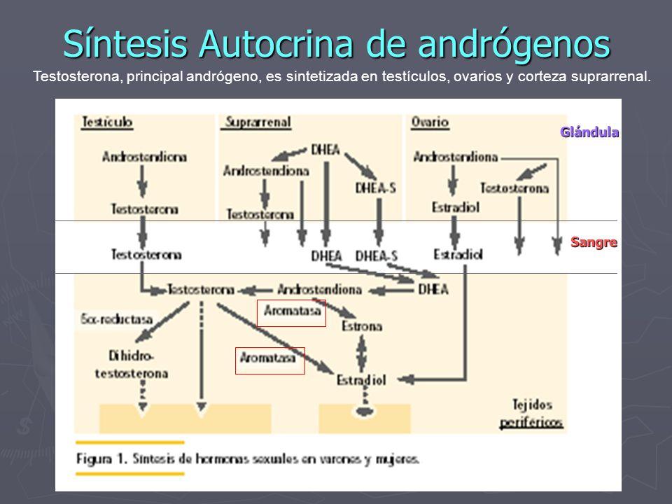 Síntesis Autocrina de andrógenos Testosterona, principal andrógeno, es sintetizada en testículos, ovarios y corteza suprarrenal. Sangre Glándula