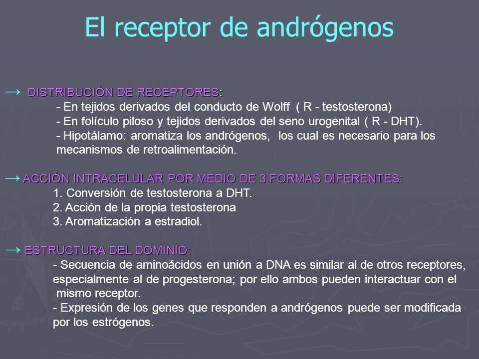 El receptor de andrógenos DISTRIBUCIÓN DE RECEPTORES: - En tejidos derivados del conducto de Wolff ( R - testosterona) - En folículo piloso y tejidos