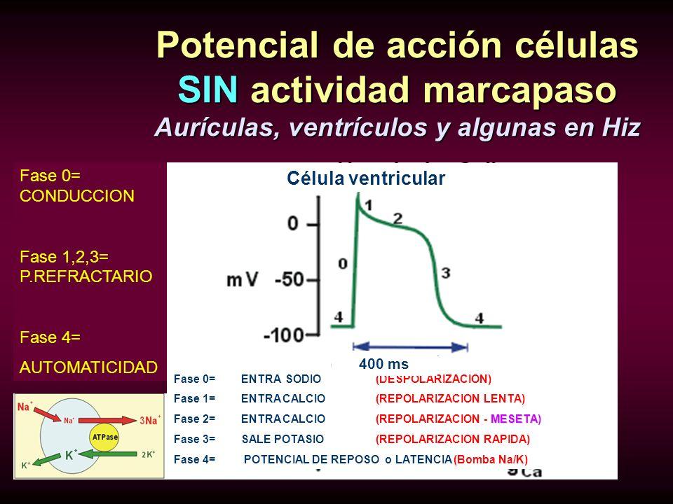 Potencial de acción células SIN actividad marcapaso Aurículas, ventrículos y algunas en Hiz Fase 0= ENTRA SODIO(DESPOLARIZACION) Fase 1=ENTRA CALCIO(R