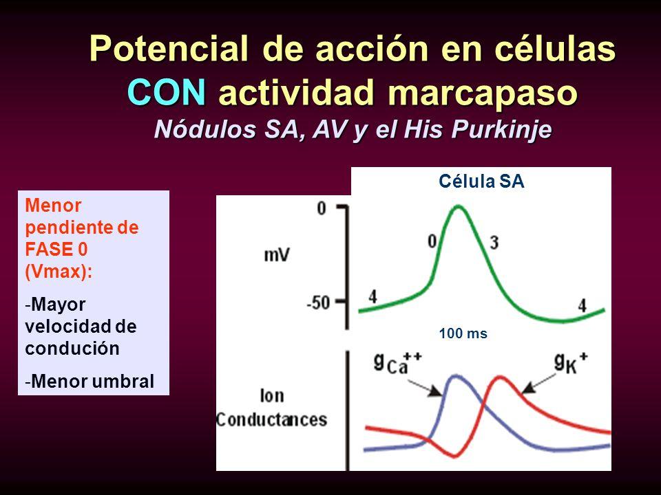 Potencial de acción en células CON actividad marcapaso Nódulos SA, AV y el His Purkinje Célula SA Fase 0= ENTRA CALCIO(DESPOLARIZACION) Fase 3=SALE PO