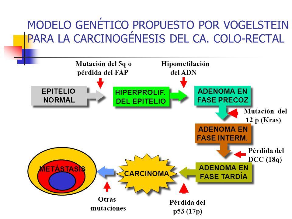 MODELO GENÉTICO PROPUESTO POR VOGELSTEIN PARA LA CARCINOGÉNESIS DEL CA. COLO-RECTAL EPITELIO NORMAL EPITELIO NORMAL CARCINOMA METÁSTASIS Otras mutacio