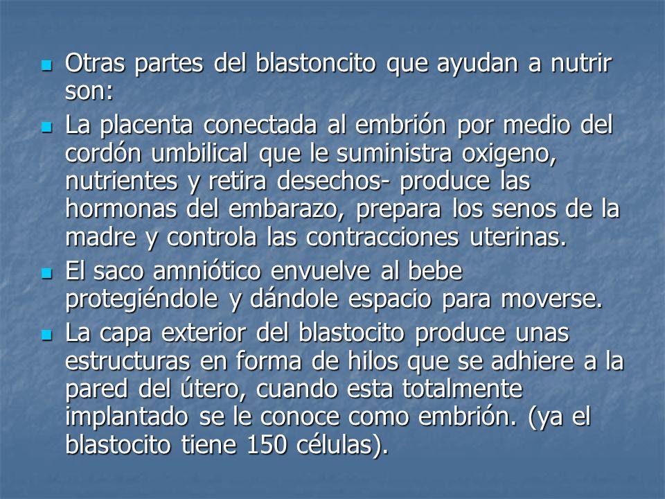 Otras partes del blastoncito que ayudan a nutrir son: Otras partes del blastoncito que ayudan a nutrir son: La placenta conectada al embrión por medio