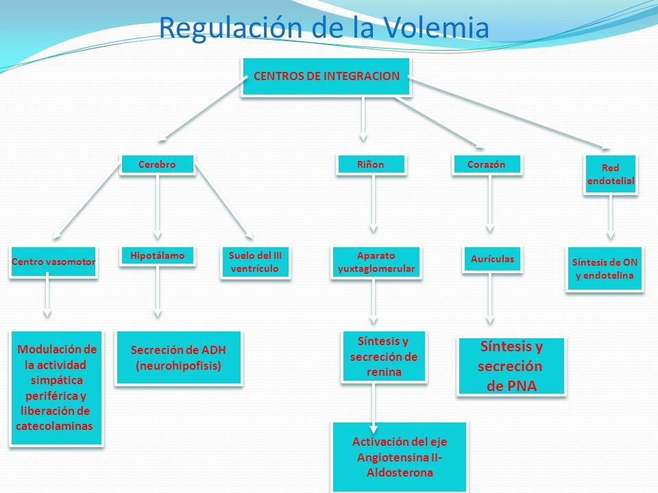 Regulación de la Volemia CENTROS DE INTEGRACION Cerebro Centro vasomotor Modulación de la actividad simpática periférica y liberación de catecolaminas