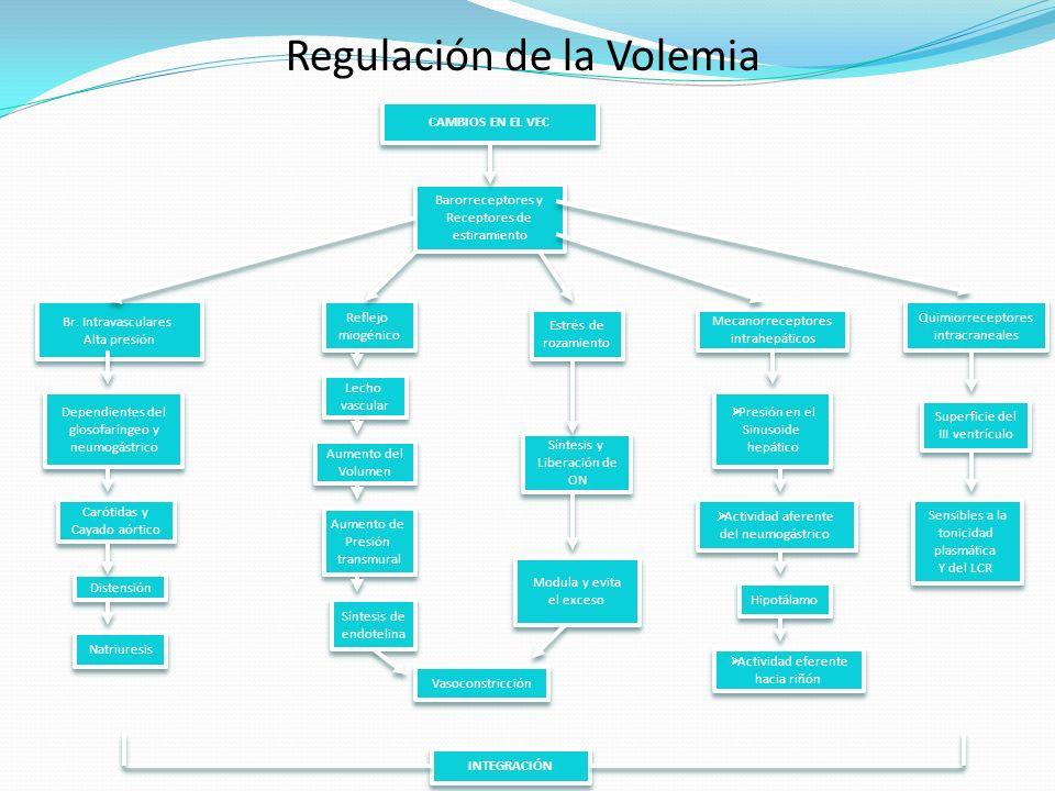 Regulación de la Volemia CAMBIOS EN EL VEC Barorreceptores y Receptores de estiramiento Barorreceptores y Receptores de estiramiento Br. Intravascular