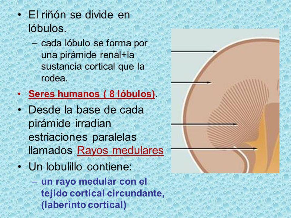 El riñón se divide en lóbulos. –cada lóbulo se forma por una pirámide renal+la sustancia cortical que la rodea. Seres humanos ( 8 lóbulos). Desde la b