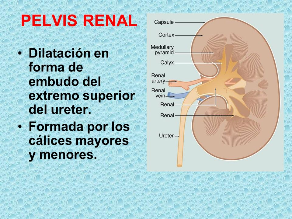 PELVIS RENAL Dilatación en forma de embudo del extremo superior del ureter. Formada por los cálices mayores y menores.