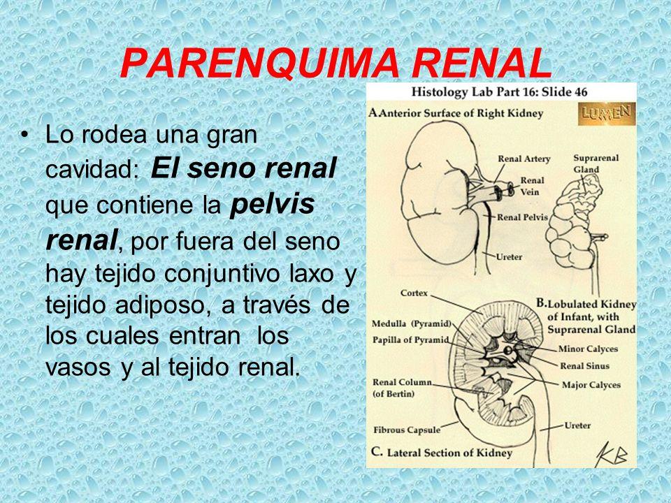 PARENQUIMA RENAL Lo rodea una gran cavidad: El seno renal que contiene la pelvis renal, por fuera del seno hay tejido conjuntivo laxo y tejido adiposo