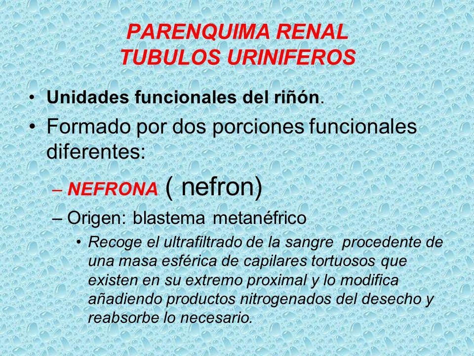 PARENQUIMA RENAL TUBULOS URINIFEROS Unidades funcionales del riñón. Formado por dos porciones funcionales diferentes: –NEFRONA : ( nefron) –Origen: bl
