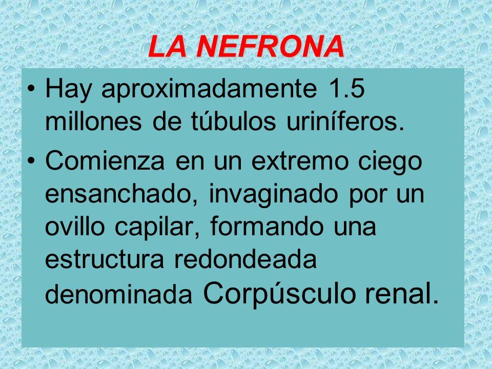 LA NEFRONA Hay aproximadamente 1.5 millones de túbulos uriníferos. Comienza en un extremo ciego ensanchado, invaginado por un ovillo capilar, formando