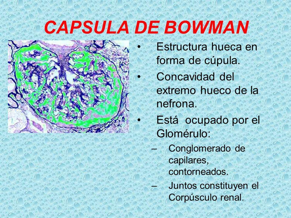 CAPSULA DE BOWMAN Estructura hueca en forma de cúpula. Concavidad del extremo hueco de la nefrona. Está ocupado por el Glomérulo: –Conglomerado de cap