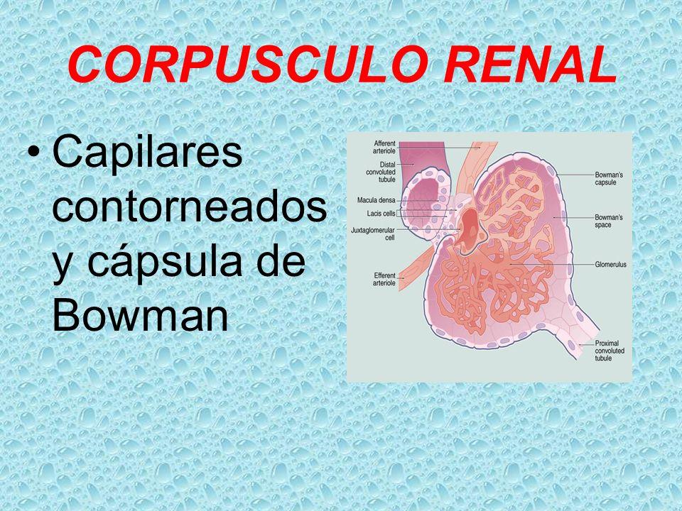 CORPUSCULO RENAL Capilares contorneados y cápsula de Bowman