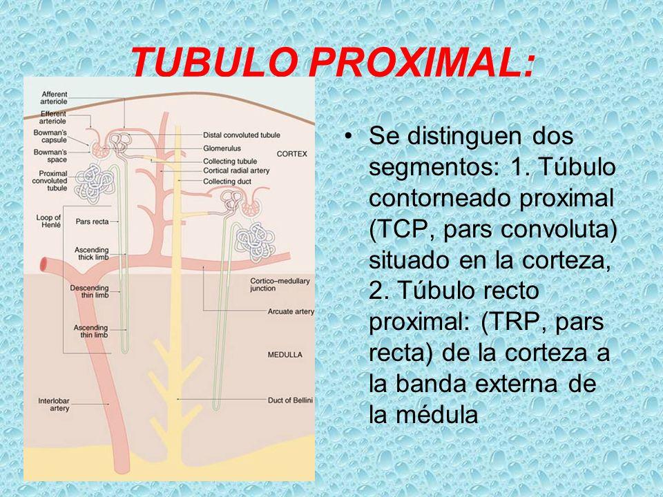 TUBULO PROXIMAL: Se distinguen dos segmentos: 1. Túbulo contorneado proximal (TCP, pars convoluta) situado en la corteza, 2. Túbulo recto proximal: (T