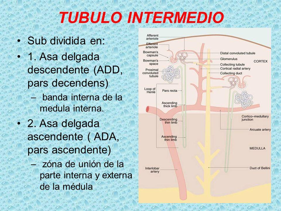 TUBULO INTERMEDIO Sub dividida en: 1. Asa delgada descendente (ADD, pars decendens) – banda interna de la medula interna. 2. Asa delgada ascendente (