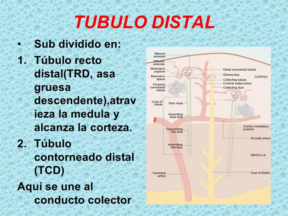 TUBULO DISTAL Sub dividido en: 1.Túbulo recto distal(TRD, asa gruesa descendente),atrav ieza la medula y alcanza la corteza. 2.Túbulo contorneado dist