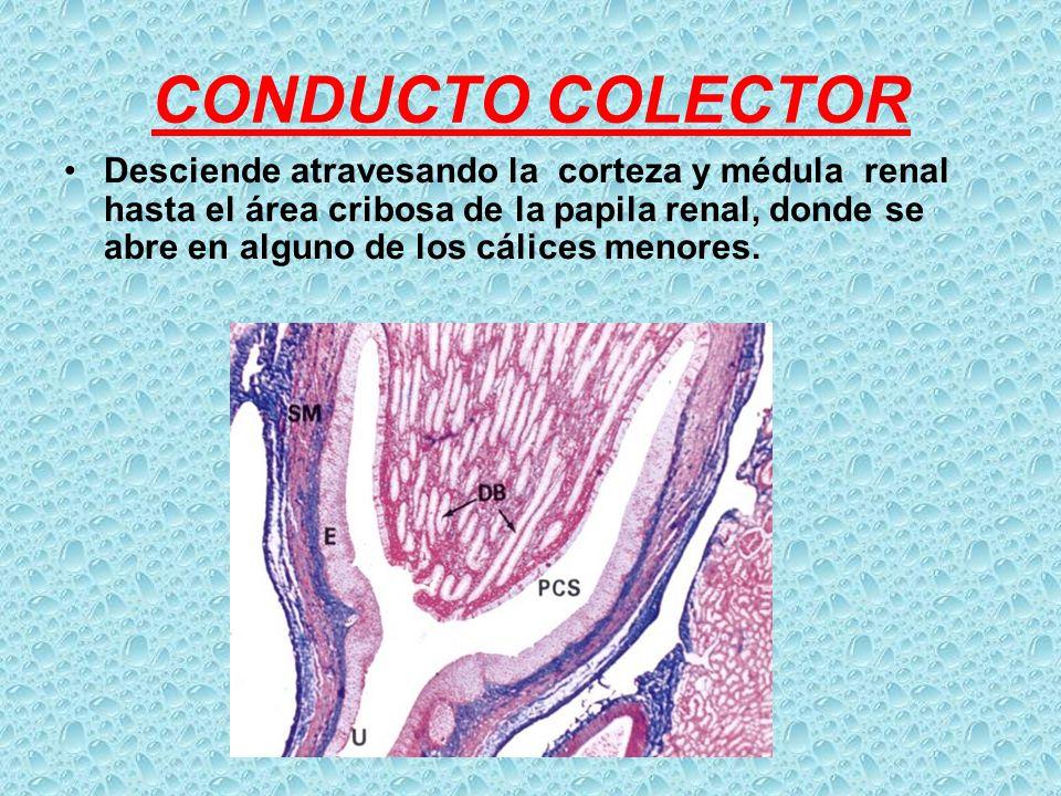 CONDUCTO COLECTOR Desciende atravesando la corteza y médula renal hasta el área cribosa de la papila renal, donde se abre en alguno de los cálices men