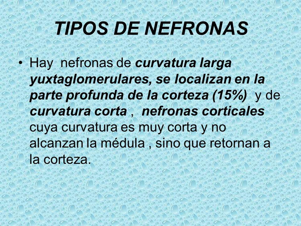 TIPOS DE NEFRONAS Hay nefronas de curvatura larga yuxtaglomerulares, se localizan en la parte profunda de la corteza (15%) y de curvatura corta, nefro