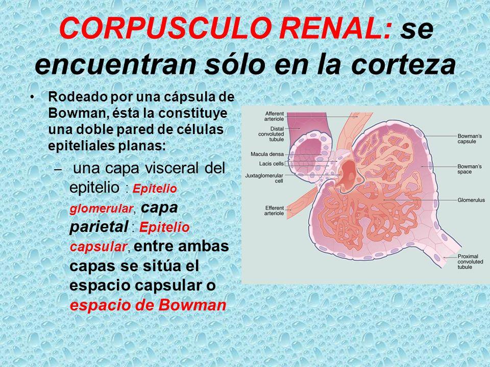CORPUSCULO RENAL: se encuentran sólo en la corteza Rodeado por una cápsula de Bowman, ésta la constituye una doble pared de células epiteliales planas