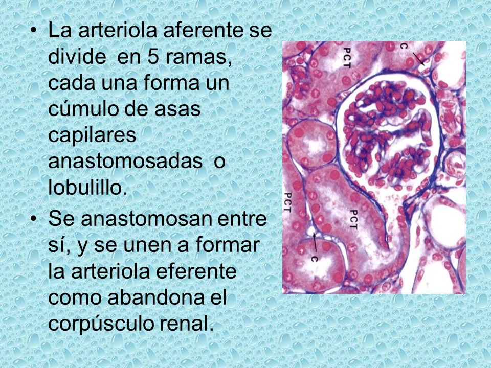 La arteriola aferente se divide en 5 ramas, cada una forma un cúmulo de asas capilares anastomosadas o lobulillo. Se anastomosan entre sí, y se unen a