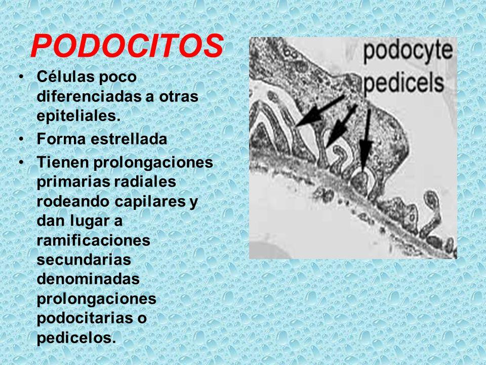 PODOCITOS Células poco diferenciadas a otras epiteliales. Forma estrellada Tienen prolongaciones primarias radiales rodeando capilares y dan lugar a r
