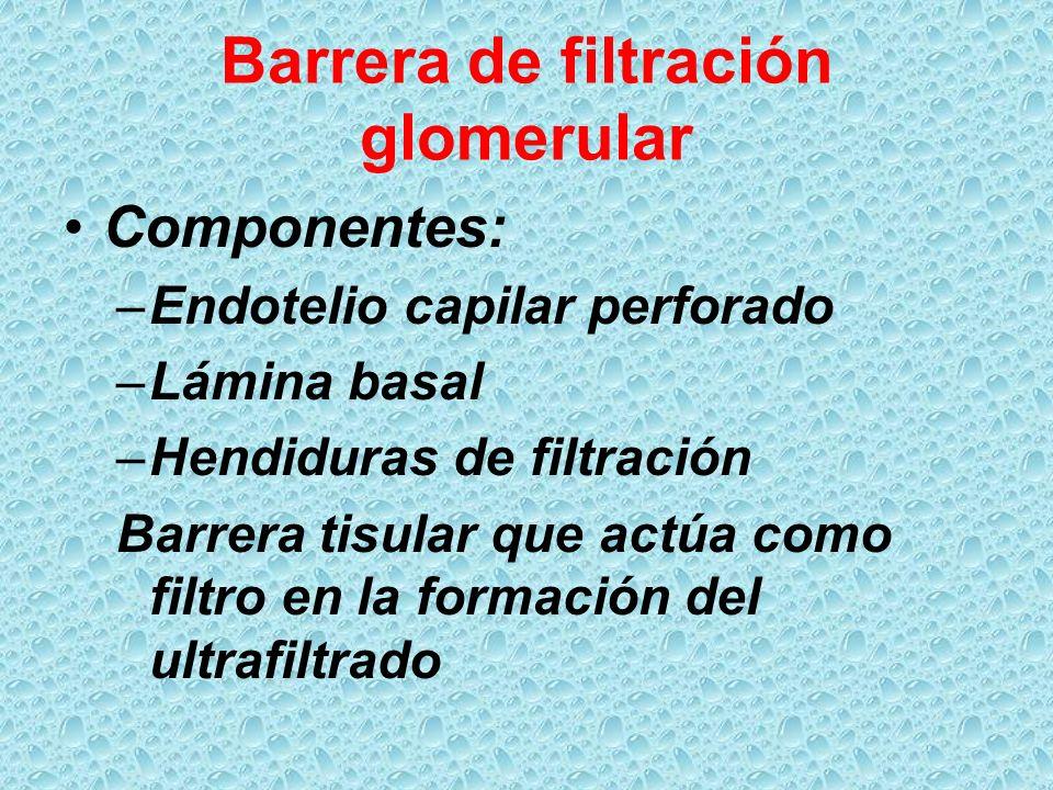 Barrera de filtración glomerular Componentes: –Endotelio capilar perforado –Lámina basal –Hendiduras de filtración Barrera tisular que actúa como filt
