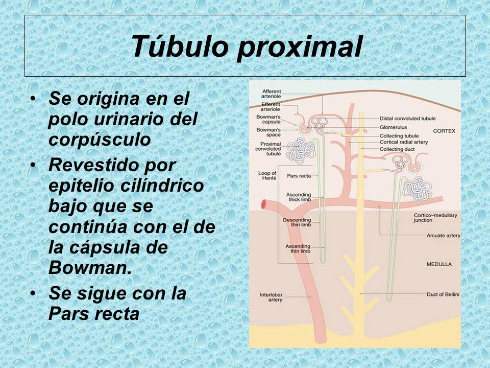 Túbulo proximal Se origina en el polo urinario del corpúsculo Revestido por epitelio cilíndrico bajo que se continúa con el de la cápsula de Bowman. S