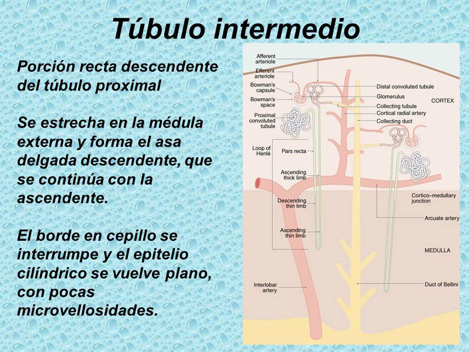 Túbulo intermedio Porción recta descendente del túbulo proximal Se estrecha en la médula externa y forma el asa delgada descendente, que se continúa c