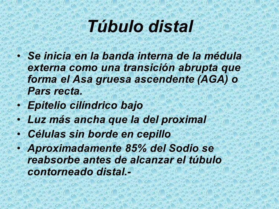 Túbulo distal Se inicia en la banda interna de la médula externa como una transición abrupta que forma el Asa gruesa ascendente (AGA) o Pars recta. Ep