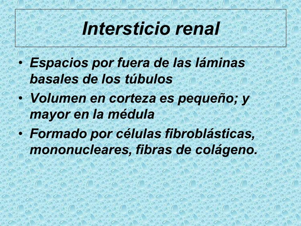 Intersticio renal Espacios por fuera de las láminas basales de los túbulos Volumen en corteza es pequeño; y mayor en la médula Formado por células fib