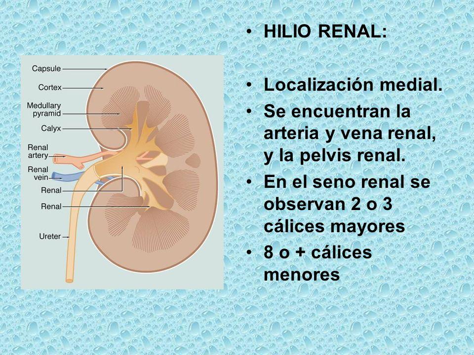 HILIO RENAL: Localización medial. Se encuentran la arteria y vena renal, y la pelvis renal. En el seno renal se observan 2 o 3 cálices mayores 8 o + c
