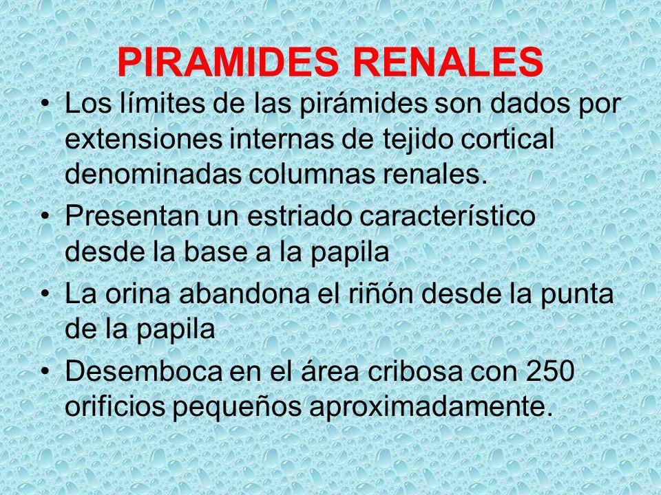 PIRAMIDES RENALES Los límites de las pirámides son dados por extensiones internas de tejido cortical denominadas columnas renales. Presentan un estria