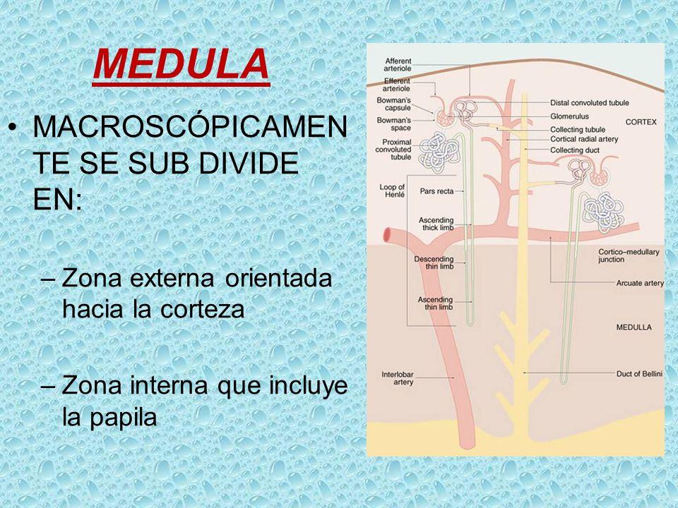 MEDULA MACROSCÓPICAMEN TE SE SUB DIVIDE EN: –Zona externa orientada hacia la corteza –Zona interna que incluye la papila